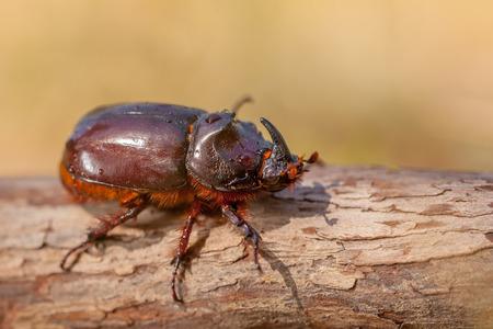 oryctes: European Rhinoceros Beetle (Oryctes nasicornis) in Natural Habitat in Italy