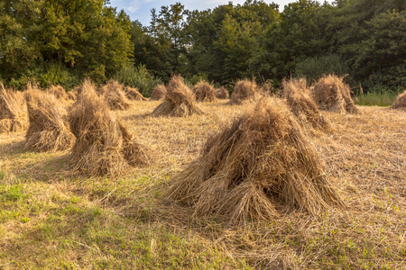 Traditional haystack of buckwheat in the old landscape of Natura docet of Twente Netherlands photo