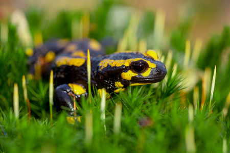 central european: Fire salamanders (Salamandre salamandre) live in central European old humid forests and are more common in wet areas.