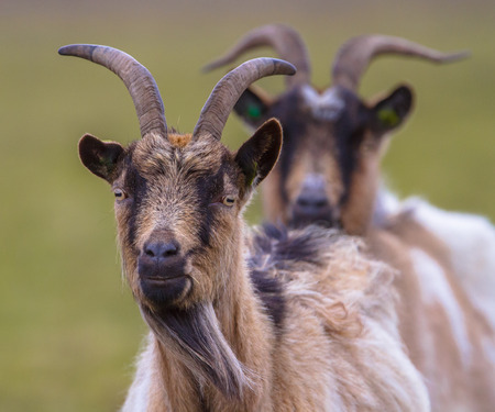 billy: Two Billy goats in a green field Stock Photo