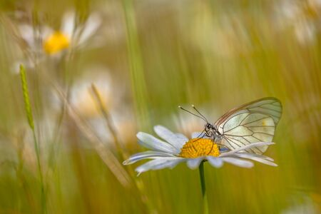 pieridae: Black-veined White (Aporia crataegi) resting on Oxeye daisy (Leucanthemum vulgare) in a grass field