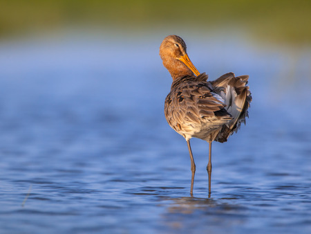 noord: Black-tailed Godwit (Limosa limosa) cleaning its feathers while standing in shallow water Stock Photo
