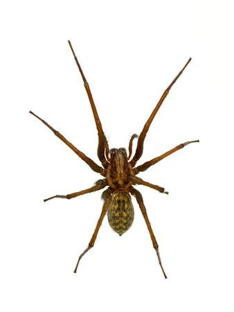 Creepy house spider (Tegenaria domesticus) on white background