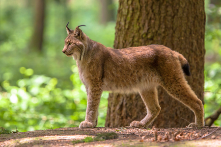 lince: El lince eurasiático (Lynx lynx) es un nativo gato de tamaño mediano a los bosques europeos y siberianos