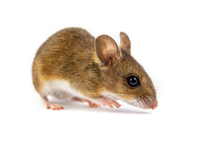 Wild wood mouse (Apodemus sylvaticus) with cute brown eyes looking in the camera on white background