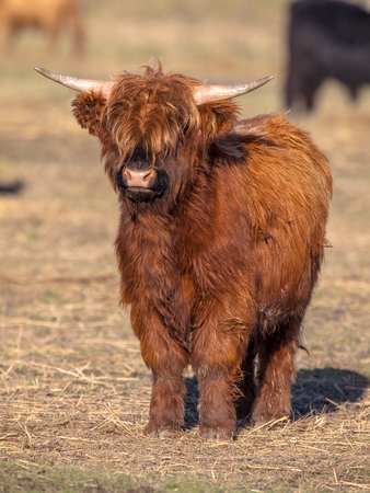 herbivores: Highland cattle calf in the Lauwersmeer National Park in the Netherlands are the largest herbivores in the local ecosystem