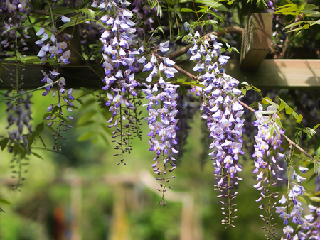 wistaria: Gazebo with Wisteria on an arbour in a sunny garden