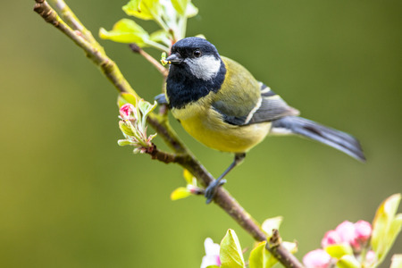 Great tit (parus major) perched on a branch with blossom with a larvae in beak as food for the offspring