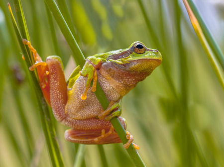hyla: European tree frog (Hyla arborea) getting ready to jump from common rush (juncus effusus)
