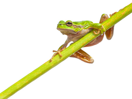 green tree frog: European Tree Frog (Hyla arborea) climbing in a right page diagonal green stick, isolated on white background