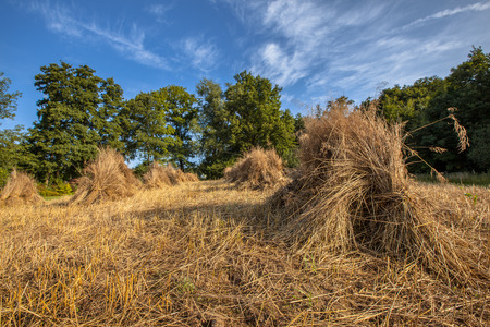 haystack: Traditional haystack of buckwheat in the old landscape of Natura docet of Twente Netherlands