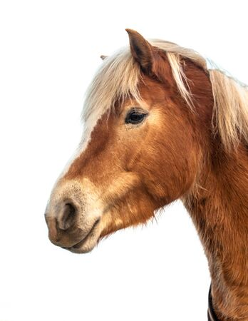 recreational pursuits: Head of a cute horse on white background. Horses and humans interact in a wide variety of sport competitions and non-competitive recreational pursuits, as well as in working activities such as police work, agriculture, entertainment, and therapy. Stock Photo