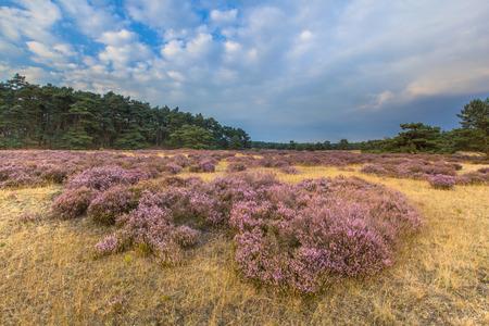 veluwe: Heathland in national park de Hoge Veluwe around sunset under a clouded sky in August Stock Photo