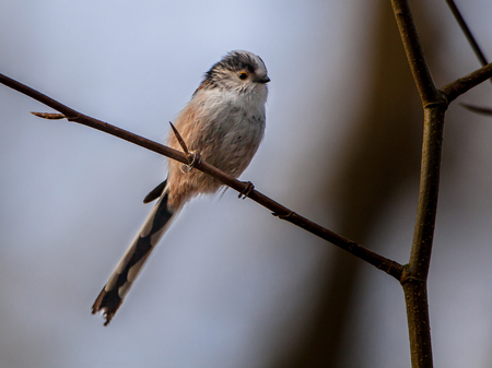 fairly: The long-tailed tit or long-tailed bushtit (Aegithalos caudatus) is a fairly common songbird found throughout Europe and Asia. It inhabits deciduous and mixed woodland