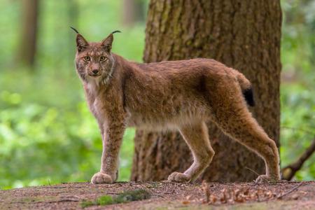 유라시아 스라소니 (Lynx lynx)는 유럽과 시베리아 숲이 원산지 인 중형 고양이입니다.