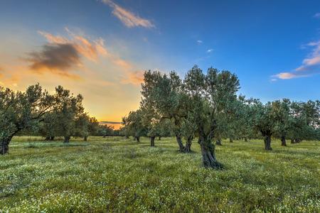 レスボス島は、ギリシャのパリキア近くのオリーブの木立の上の朝太陽が昇る