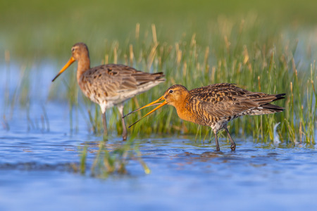 Pair of Black-tailed Godwit (Limosa limosa) with male in the front and female in rear. This is one of the wader bird target species in dutch nature protection projects Stok Fotoğraf
