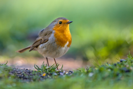 erithacus: A red robin (Erithacus rubecula) foraging on the ground in an ecological garden. This bird is a regular companion during gardening pursuits Stock Photo