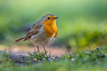 arbol pájaros: Un petirrojo rojo (Erithacus rubecula) alimentándose en el suelo en un jardín ecológico. Esta ave es un compañero regular durante actividades de jardinería