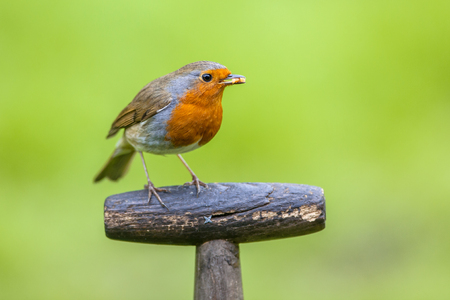 pursuits: Red robin (Erithacus rubecula) perched on the grip handle of a shovel. This bird is a regular companion during gardening pursuits Stock Photo