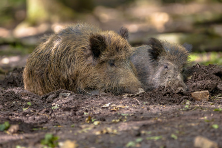 wallowing: Two Wild Boar (Sus scrofa) wallowing in a mud pool to get rid of parasites