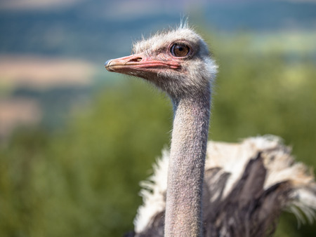 avestruz: El avestruz o Común Avestruz (Struthio camelus) es una o dos especies de grandes aves no voladoras nativas de África Foto de archivo
