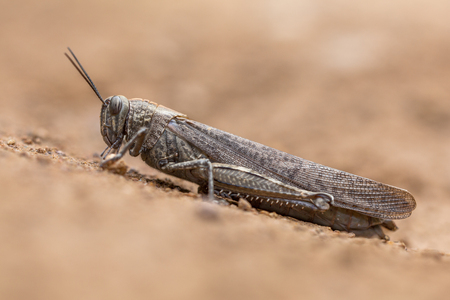 occurs: The migratory locust (Locusta migratoria) is the most widespread locust species. It occurs throughout Africa, Asia, Australia and New Zealand