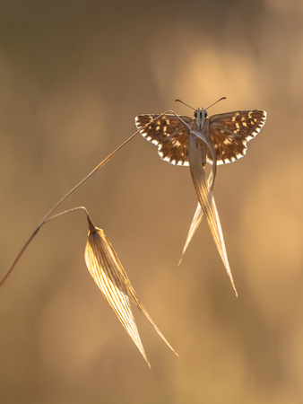 grizzled: Brown Butterfly with White Dots on Brown Grass with Brown Background