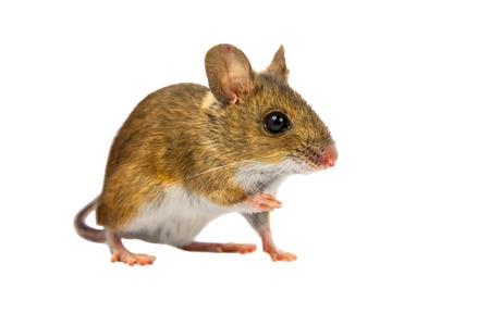 rata: Ratón de madera (Apodemus sylvaticus) con los ojos marrones lindos que miran en la cámara sobre fondo blanco