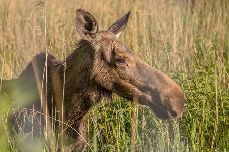 extant: The moose (North America) or Eurasian elk (Europe), Alces alces, is the largest extant species in the deer family Stock Photo