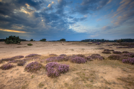 posbank: Heathland and shifting sands in national park de Hoge Veluwe near Arnhem  around sunset under a clouded sky in August