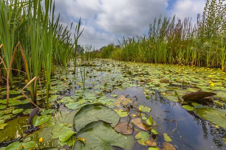 floating on water: Dense floating water vegetation of Fringed Water-lily (Nymphoides peltata) in an urban area in the Netherlands