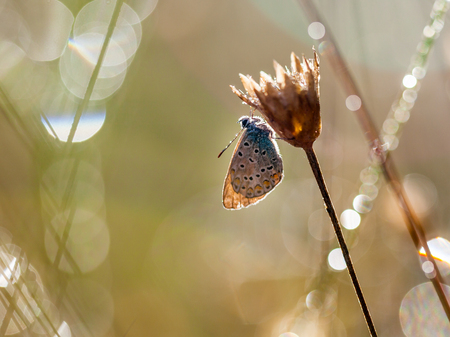 polyommatus icarus: Common Blue Butterfly (Polyommatus icarus) in Back Lit Morning Sun with Lens Flare from Dew Drops of Water