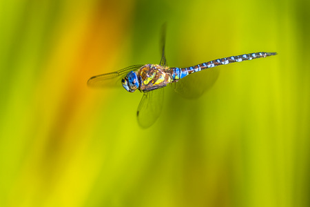 libel: Large Migrant Hawker Dragonfly (Aeshna mixta)  flying in the air with bright green background of aquatic plants