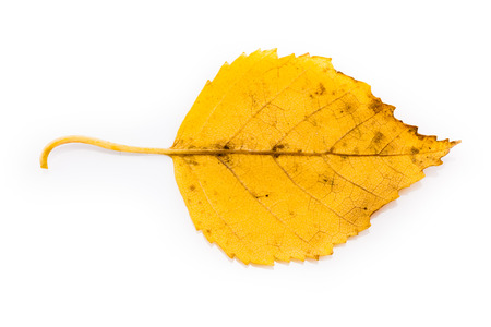 birch leaf: Yellow Birch Leaf in Autumnal Colors Isolated on White Background Stock Photo