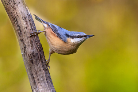 clinging: Eurasian nuthatch, wood nuthatch; Sitta europaea, clinging upside down to a branch Stock Photo