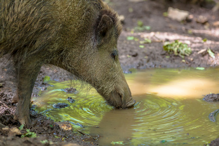 wallowing: Wild Boar (Sus scrofa) drinking water from a mud pool also used for wallowing to get rid of parasites