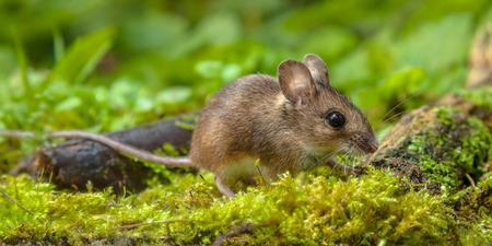 myszy: Dziki Drewno myszy chodzenia po podłodze lasu z bujną zieloną roślinnością
