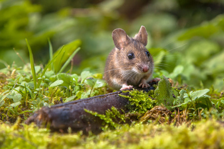 Wild Wood mouse peeking from behind a log on the forest floor
