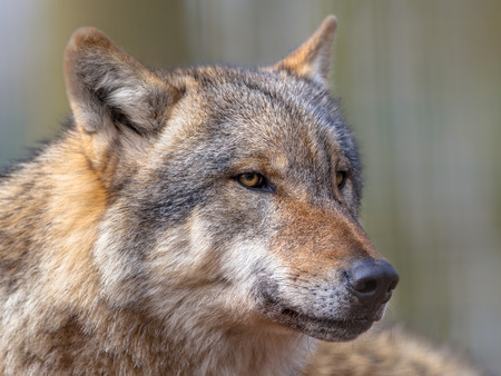 specialised: Big bad Gray Wolf (Canis lupus lupus) is the most specialised member of the genus Canis, as demonstrated by its morphological adaptations to hunting large prey, its more gregarious nature, and its highly advanced expressive behavior. Stock Photo