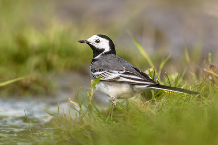 netherlands: white wagtail (Motacilla alba) drinking water in a wetland nature reserve in the Netherlands