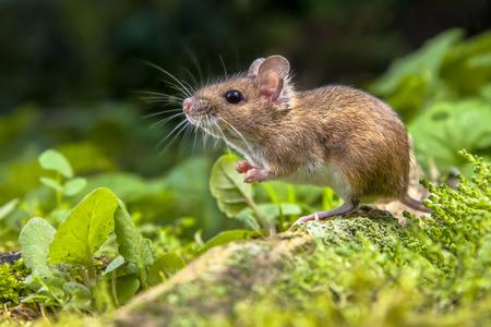 Salvaje ratón de madera apoyada en la raíz de un árbol en el suelo del bosque con una frondosa vegetación