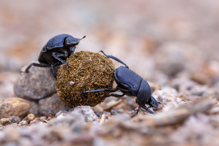 overcoming adversity: Two dung beetles attempting the challenge to roll a ball through gravel