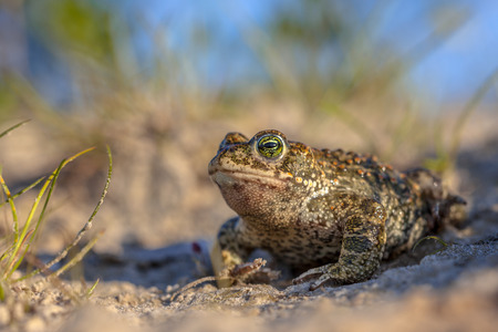bufo bufo: Natterjack toad (Epidalea calamita) in natural sandy habitat. With blue sky and shallow DOF Stock Photo