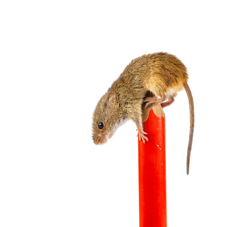 postponed: pen with Eurasian Harvest mouse (Micromys minutus) and clipping path as a concept for postponed homework