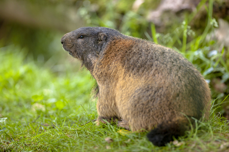 southern europe: Alpine marmot (Marmota marmota) in natural habitat. This creature is found in mountainous areas of central and southern Europe Stock Photo