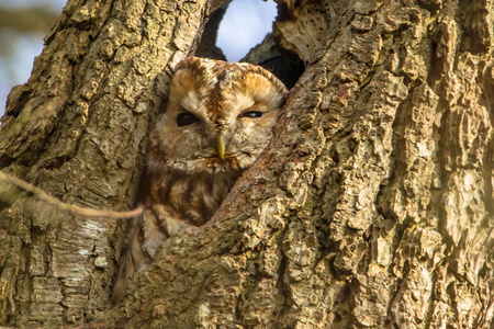 tawny owl: Brown or Tawny owl (Strix aluco) looking down from a hollow tree Stock Photo