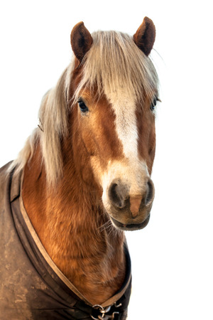 historically: Head of a cute horse with clipping path. Horses were historically used in warfare, from which a wide variety of riding and driving techniques developed, using many different styles of equipment and methods of control. Stock Photo