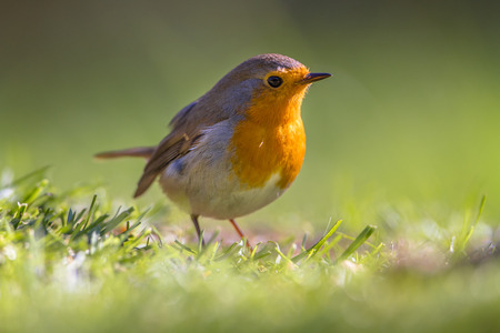 rubecula: A red robin (Erithacus rubecula) foraging in grass on a lawn in an ecological garden
