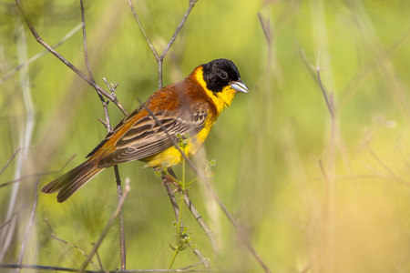 black headed: Black headed Bunting (Emberiza melanocephala) perched in the bushes and looking in the camera